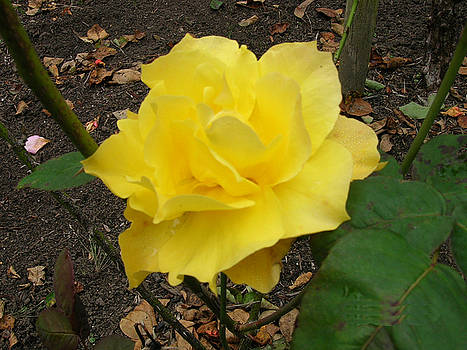Yellow Rose by Carolyn Donnell
