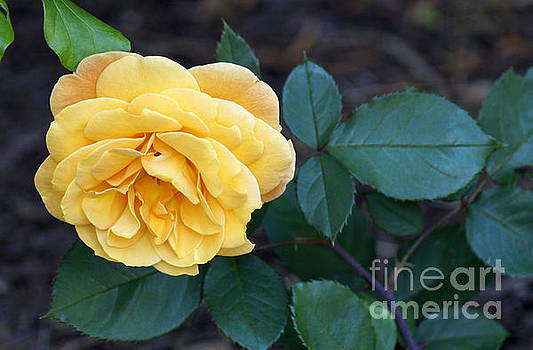 Yellow Rose by Debra Crank