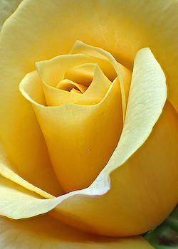 Yellow Rose by Farol Tomson