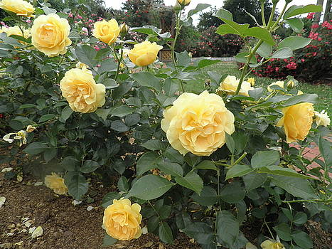 Kate Gallagher - Yellow Roses