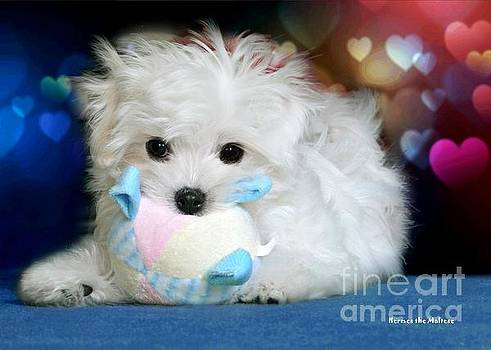 Hermes the Maltese by Morag Bates