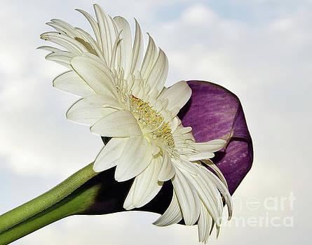 White Gerber by Elvira Ladocki