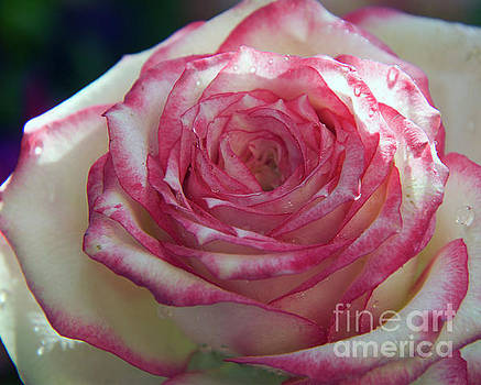 Beauty Rose by Elvira Ladocki