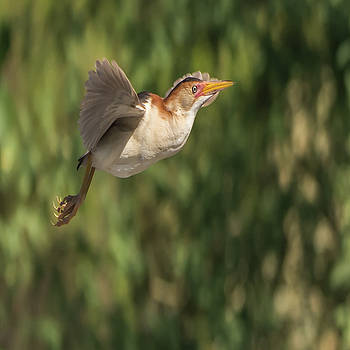 Least Bittern by Tam Ryan
