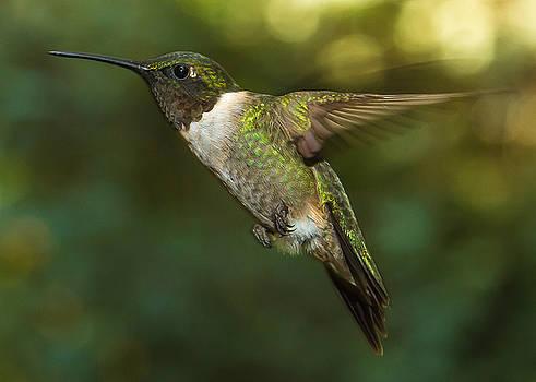 Ruby-Throated Hummingbird by Robert L Jackson