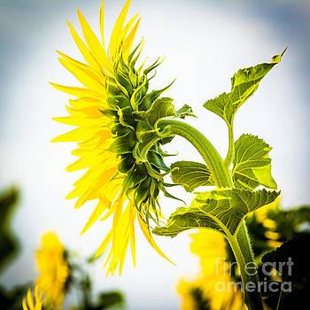 BERNARD JAUBERT - Field of sunflowers