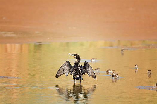 Tam Ryan - Neotropic Cormorant