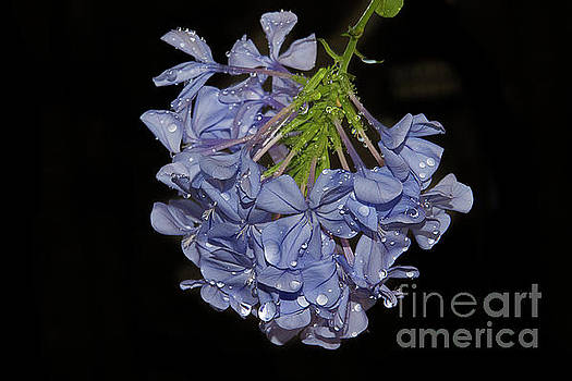 Blue Flowers by Elvira Ladocki