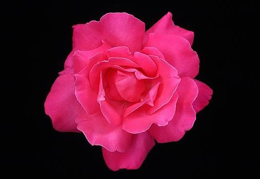 Pink Rose by Carol Welsh