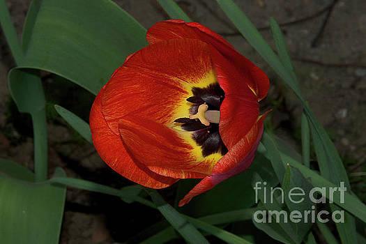 Red Tulip by Elvira Ladocki