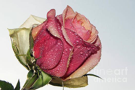Beautiful Roses by Elvira Ladocki
