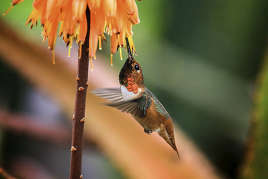 Allen's Hummingbird by Koji Kanemoto