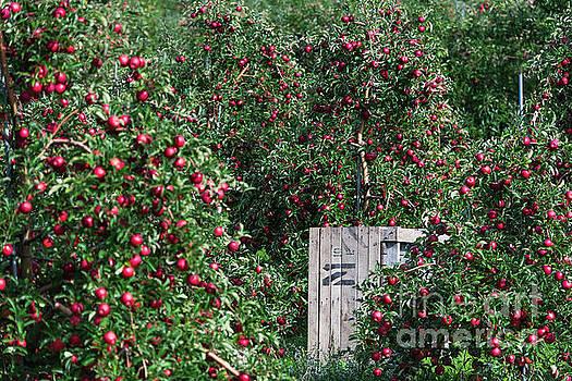 Apple Orchard by John Greim