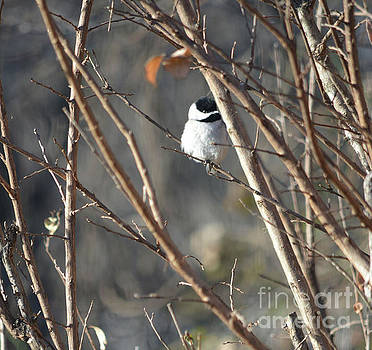 Black Capped Chickadee  by Ruth Housley