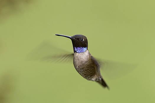 Black-chinned Hummingbird by Doug Herr