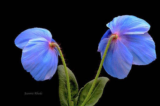 Blue Poppies by Jeannie Rhode Photography