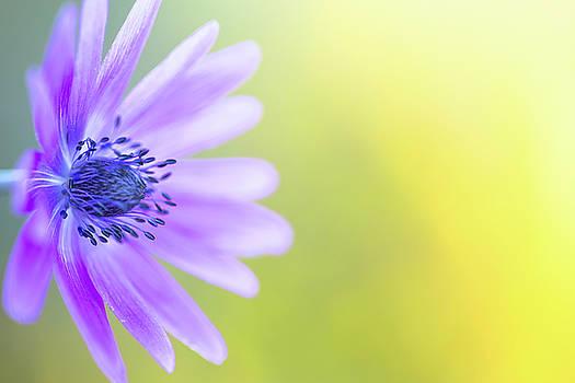 Blue Violet Daisy Wildflower by Dirk Ercken