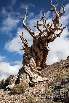Bristlecone Pine by Richard Smukler