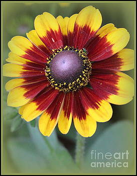 Brown Eyed Susan by Dora Sofia Caputo Photographic Art and Design