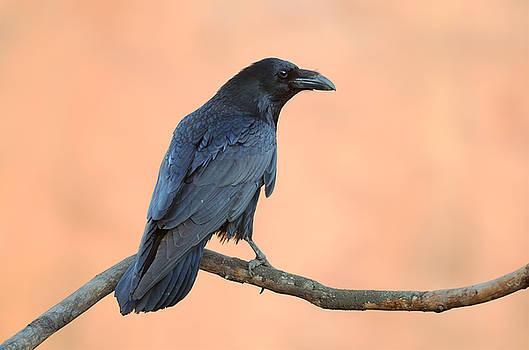 Common Raven by Sergey Ryzhkov