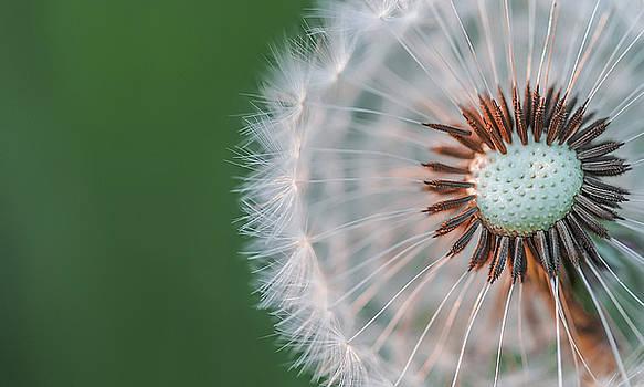Dandelion by Bess Hamiti