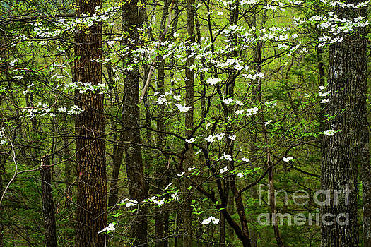 Dogwood Blooming in Forest by Thomas R Fletcher