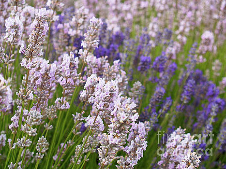 English Lavender by Alex Cassels