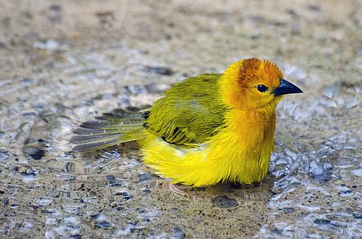 Golden Weaver by Cheryl Cencich