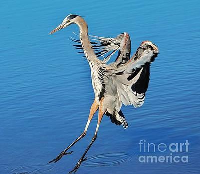Paulette Thomas - Great Blue Heron Landing