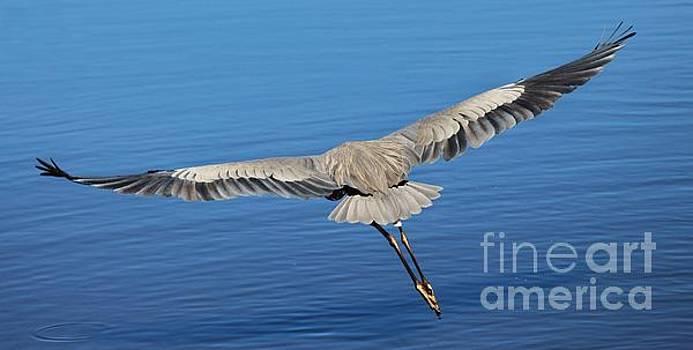 Paulette Thomas - Great Blue Heron Wings
