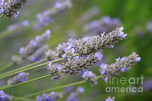 Lavender. by Tracy  Hall