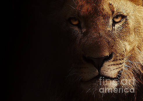 Lion by Christine Sponchia