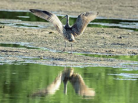 Tam Ryan - Long-billed Curlew