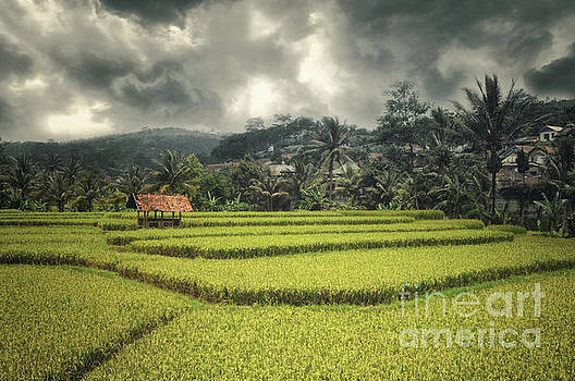 Paddy Field by Charuhas Images