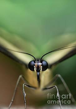 Paper Kite Butterfly Macro by Brandon Alms