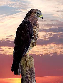 Peregrine Falcon by Lynn Bolt