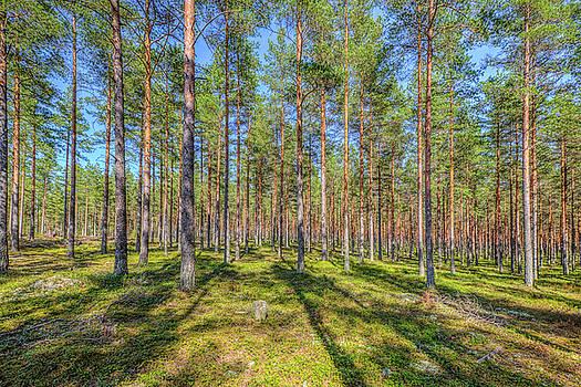 Pinewood by Veikko Suikkanen