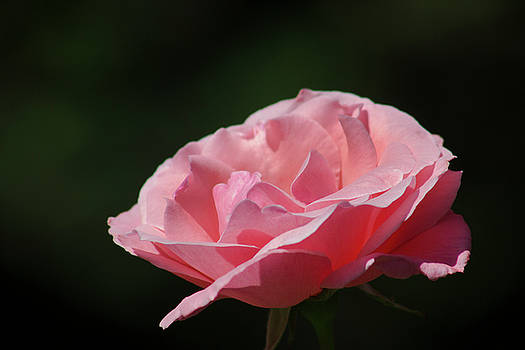 Pink Rose by Mark Michel