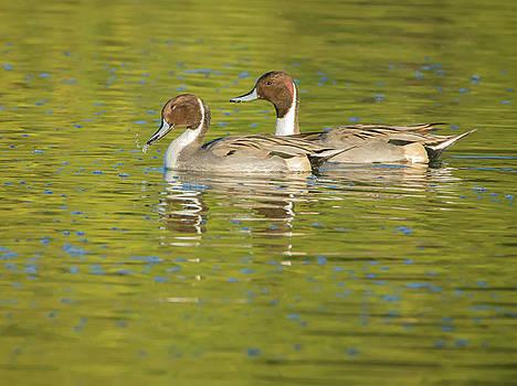 Tam Ryan - Pintail Ducks