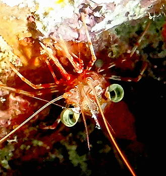 Red Night Shrimp by Amy McDaniel