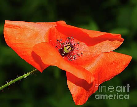 Red Poppy by Elvira Ladocki