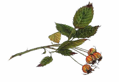 Rose hips  by Elizabeth H Tudor