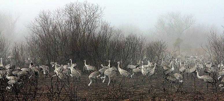 Sandhill Cranes and the Fog by Farol Tomson