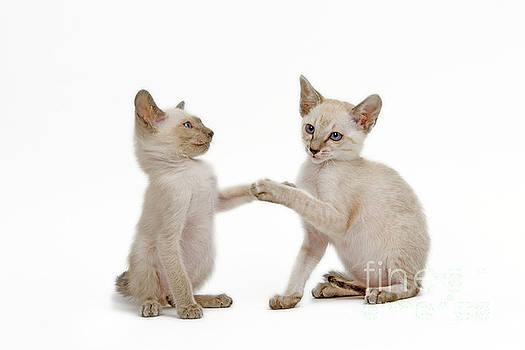 Jean-Michel Labat - Siamese Cat Kittens