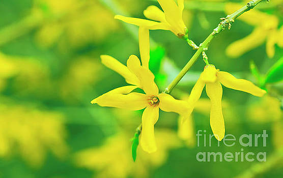 Spring Forsythia by Verena Matthew