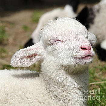 Spring lamb by Steev Stamford