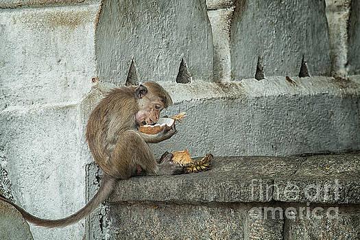 Patricia Hofmeester - Toque macaque