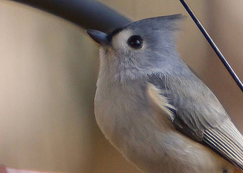 Tufted Titmouse by Robert L Jackson