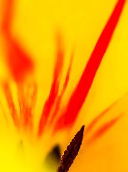 Tulip by Robert Mitchell