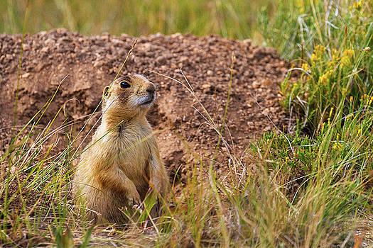 Utah Prairie Dog by James Marvin Phelps